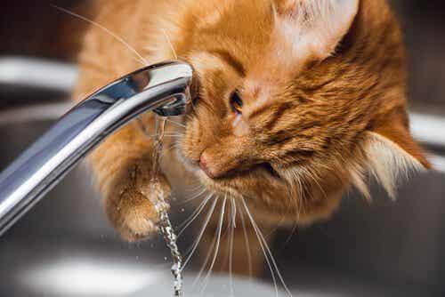 Nyreproblemer hos katte: Symptomer og behandling