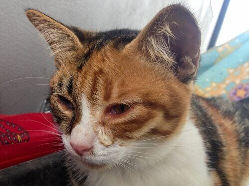 en kat med infektion i øjnene