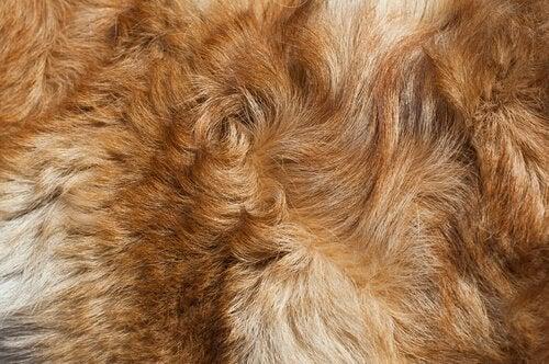 pelsen har et naturligt lag af fedt