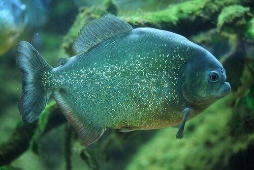en næsten grøn piratfisk