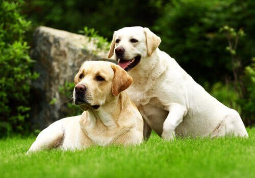 to flotte labrador retrievere