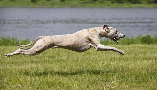 Afghansk Greyhound.