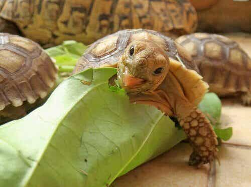 Hvad spiser en afrikansk skildpadde?
