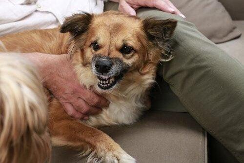 Hunde med stress kan blive aggressive over for andre hunde og mennesker