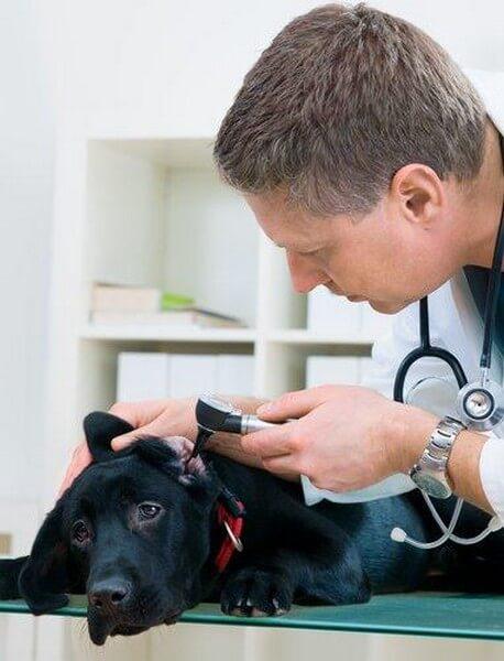 Dyrlæge undersøger hunds ører
