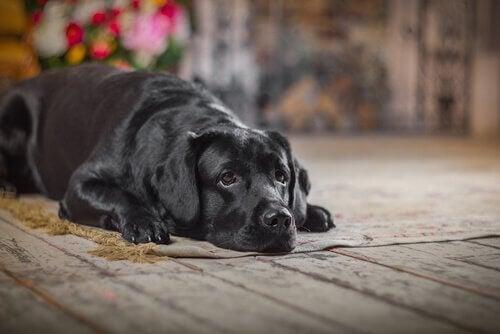 Hvad du skal gøre, hvis din hund er ude for et uheld