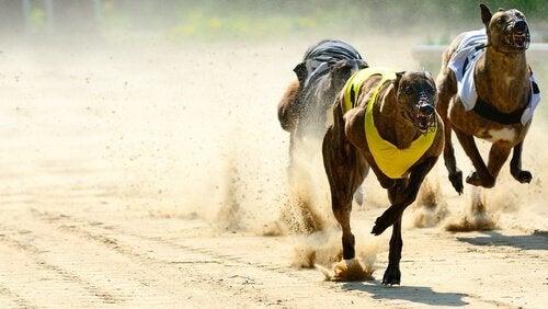 Greyhounds i vædeløbskonkurrence.