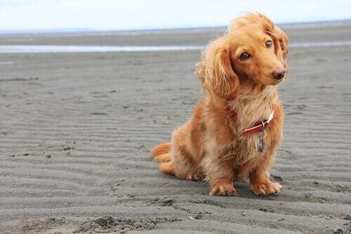 Hund sidder på stranden