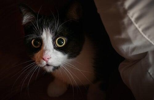 Kat med udvidet pupiller