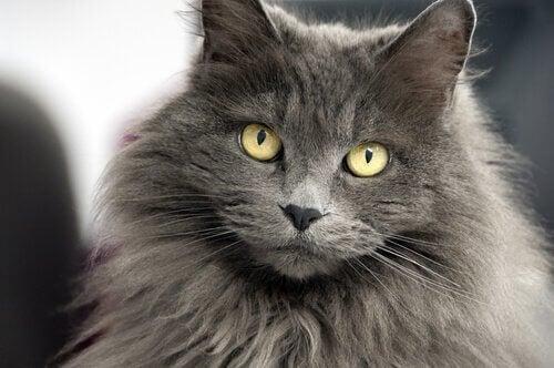 12 navne til langhårede katte