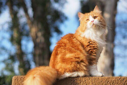 Østens kulturer er vilde med katte