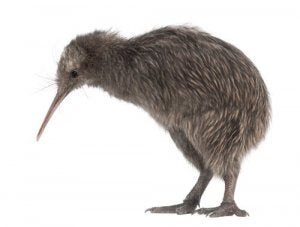 En lille kiwi