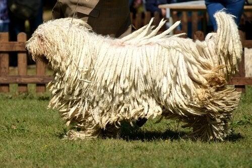 Komondor hund.