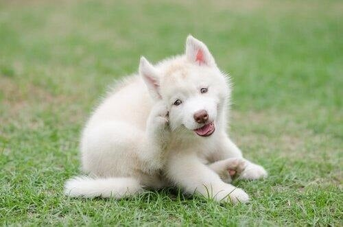 Hund kradser sig bag ørene fordi den har kløe i ørene