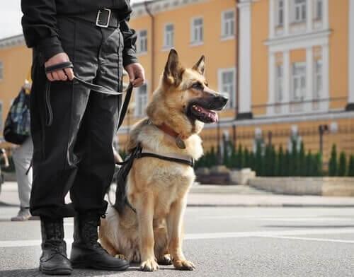 En politihund på arbejde med sin ejer