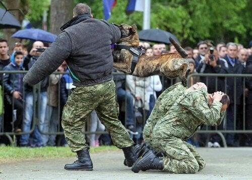 Politihund bliver trænet