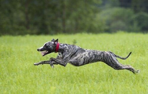 Greyhound løber på græseng