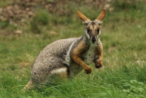 Kratkænguru er mindre end den almindelige kænguru