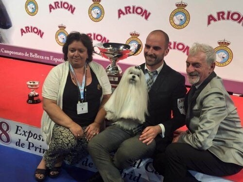 Bichon Malteser: Den bedste hund i Spanien