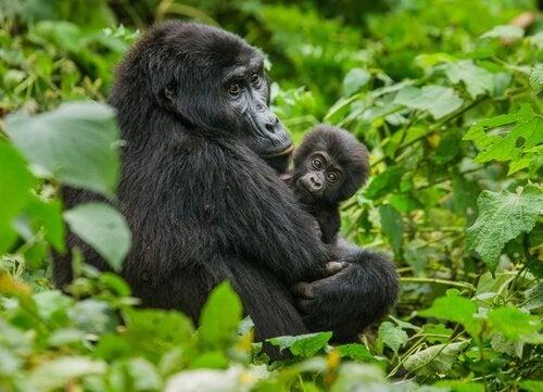 En voksen bjerggorilla sidder med sin unge