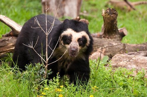 bjørnen ser ud til at bære briller