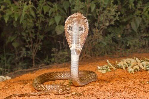 kobraen kaldes også for brilleslange