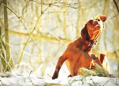 Hund, der klør sig, illustrerer hudsygdomme hos hunde