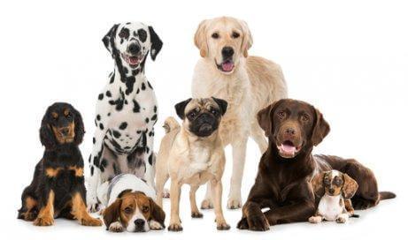 Forskellige hunderacer