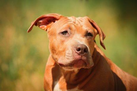 Farlige hunderacer: Pit Bull
