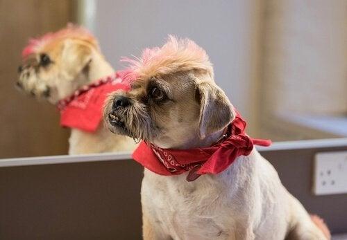 Hund med farvet pandehår