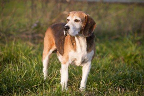 Sporhunde: Engelsk Foxhound.