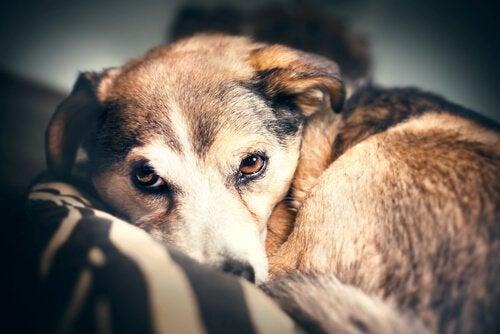 Skræmt hund symboliserer astrofobi hos hunde