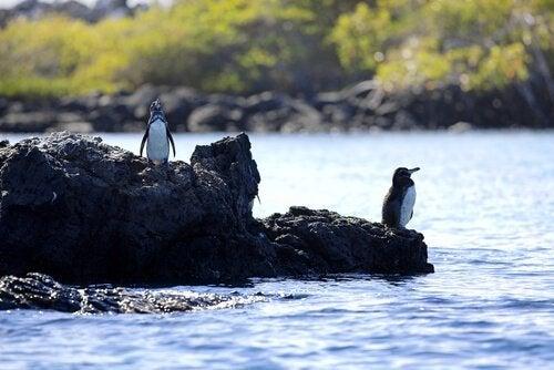 Pingvinen her er den eneste nord for ækvator