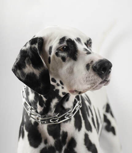 Hund med anti-træk-halsbånd