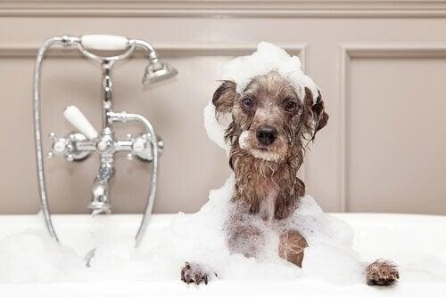 Sådan bader du din hund om vinteren