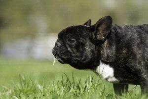 En hund der spiser græs