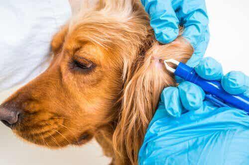 Borreliose i hunde: Diagnosis og forebyggelse