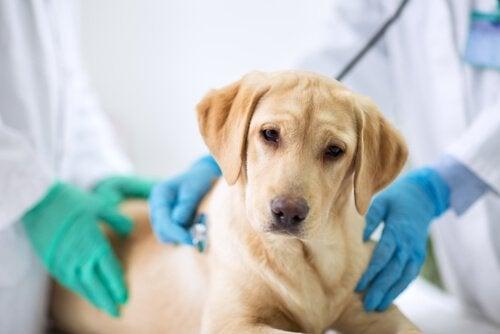 Hund bliver undersøgt af dyrlæger
