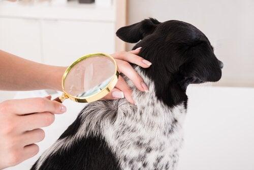 Hund bliver undersøgt for knuder
