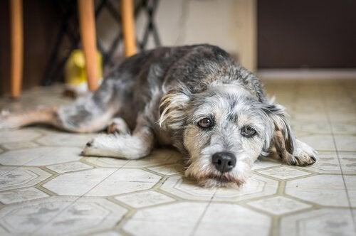Hund ligger bedrøvet på gulv