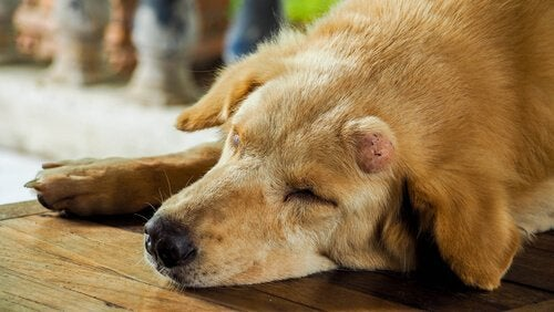 Hund med tumor i ansigtet