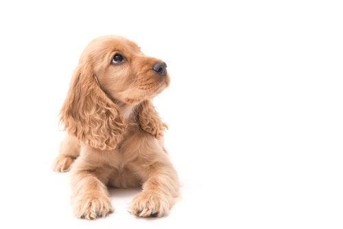 Vind din hunds respekt, mens den er hvalp