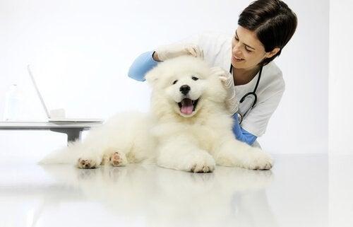 Hund bliver undersøgt af dyrlægen