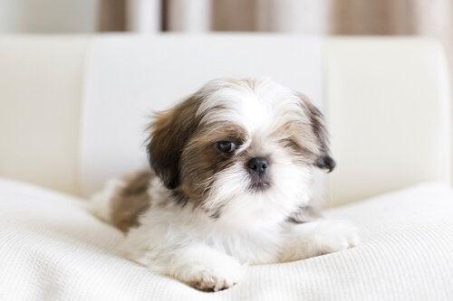 Shih Tzu-hunden er en god race til lejligheder
