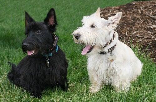To skotske terriere i sort og hvid