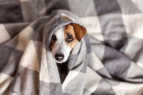 Hund gemmer sig under et tæppe