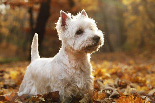 Hunderacer fra det skotske højland