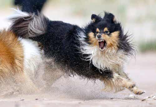 Aggression hos hunde: Håndtering af din hunds aggression