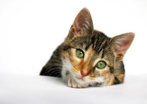 Katte-AIDS er en af de dødelige sygdomme hos katte