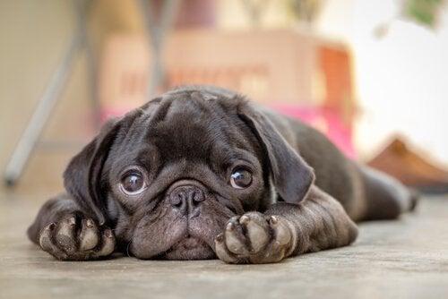 En sød hund ligger og slapper af